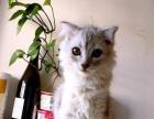 英短渐层小猫咪3个月