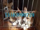上海哪儿有出售柯基犬的,短腿小柯基低价出售,两色三色均有