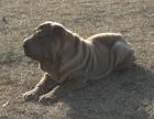 沙皮幼犬,沙皮多少钱一只