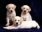 纯种拉布拉多幼犬忠实 神犬小七同款拉拉 宠物狗活体
