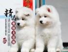 山东济南纯种萨摩耶幼犬多少钱一只