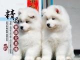 山东青岛纯种萨摩耶幼犬多少钱一只