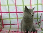 英短蓝猫美短加白加菲银渐层金吉拉宝宝找新家