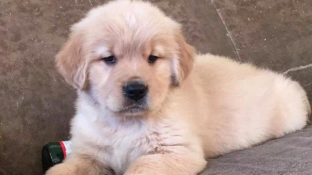 纯种金毛犬 金毛幼犬出售金毛寻回犬金毛狗 家庭犬宠物狗狗活体