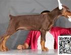 全年 一至今最畅销 杜宾幼犬 好品质 有保障