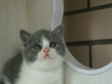纯种蓝猫宝宝 绝对实拍 保证猫纯血 健康放心来选