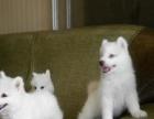 家养一窝纯种银狐犬宝宝出售,疫苗驱虫已打好,包健康