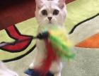 青岛宠物猫基地-蓝猫-渐层-美短-加白-保证健康