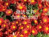 青州地被菊种植基地买地被菊当然是到鼎达花卉苗木