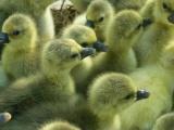 常年供应大品种鹅苗:皖西杂交鹅苗,四川白鹅苗,朗德鹅苗等品种