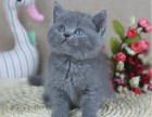 猫舍繁育精品英短蓝猫 公母均有