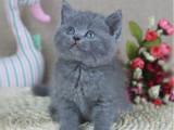 合肥包子脸蓝猫纯种英国短毛猫多少钱包子脸蓝胖子