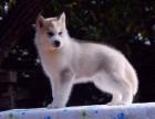 哪里有哈士奇出售 哪里能买到纯种二哈 哪里有纯种犬