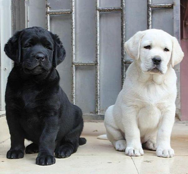 纯种大骨架金毛幼犬出售,驱虫疫苗齐全,包纯包健康