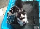 出售纯种蓝眼三火哈士奇雪橇犬/二哈活体宠物狗狗哈士奇幼犬
