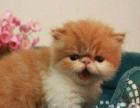 家养的一窝可爱的加菲猫,品种血统纯正,公母都有