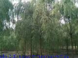 想要无病虫害的垂柳就来菏泽市景鸿苗木基地 垂柳价格