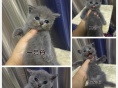 佳菲猫舍,蓝猫预定出售