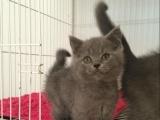 猫舍出售英短蓝猫、渐层等品种,上门看,送货上门都可