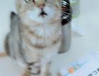 江都小雅猫屋销售自家繁殖宠物猫