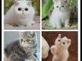 猫舍出售纯种加菲猫净梵异国短毛猫黄白红虎斑