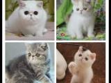 純種短毛貓加菲 性格好靜 可愛溫存甜美 公母都有