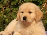 济南 完美品相 公母齐全 签协议纯种健康 金毛犬