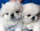 扬州哪有京巴犬卖 扬州京巴犬价格 扬州京巴犬多少钱