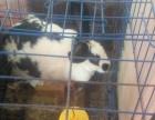 成年宠物兔以200元抱走送货上门限潮南区内