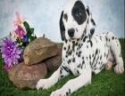 如果你真的爱狗 想养条好狗 斑点在等待着
