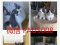 健康宠物猫活体纯种英短蓝猫折耳立耳英国短毛猫蓝猫粉