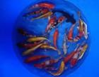 上海鱼缸,锦鲤,龙鱼,观赏鱼,冷水鱼,热带鱼专卖