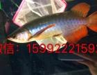 观赏鱼:高端印尼龙鱼/红龙鱼/金龙鱼专卖