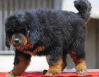 纯种藏獒幼犬出售,诚信为本,品质保,毛色一流