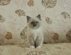 家有布偶猫幼崽,颜值超高,会用猫砂,绝对健康
