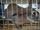 野兔价格,三个月杂交野兔价格多少钱一只,野兔苗市场价格
