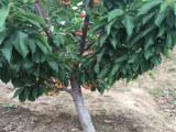 供应红手球樱桃苗(什么品种好)红手球樱桃苗供应商