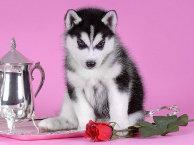 小哈士奇宝宝 随时看狗 多窝选择 疫苗齐全