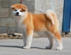 广州纯种秋田价格,广州哪里能买到纯种秋田犬