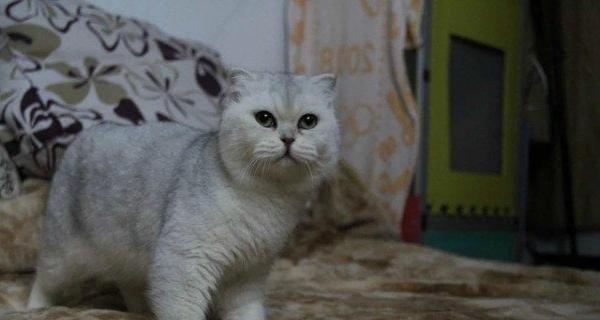 出售苏格兰折耳猫 折耳渐层 折耳蓝猫 折耳蓝白