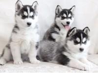 杭州哈士奇一本地养殖狗场一直销各种世界名犬 常年售卖