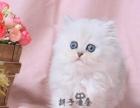 金吉拉 纯种宠物猫活体 猫长毛银渐层金吉拉银色