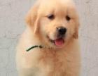 犬舍直销一金毛犬一可上门选狗一包养活一签协议