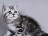 湖南长沙美短加白猫幼崽优惠出售