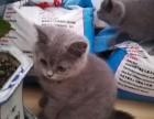 折耳猫,蓝猫