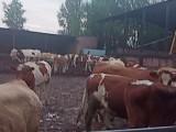 西门塔尔牛价格