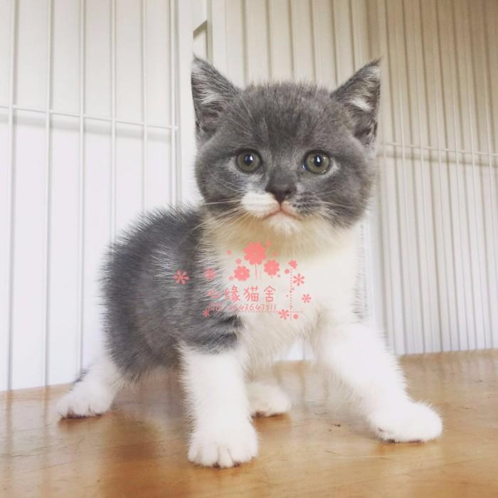 青岛宠物 青岛哪里的蓝猫较便宜 纯种蓝猫一般卖多少钱一只
