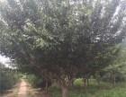 优质新品种30公分白蜡树零售