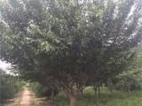 登封15公分樱花树基地自产自销