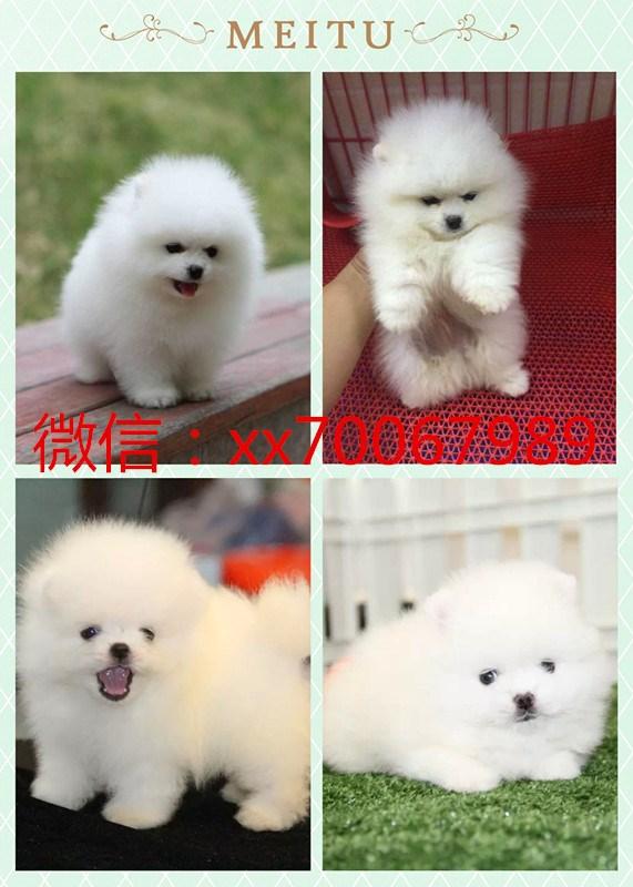 北京犬舍直销活哈士奇,萨摩耶,博美, 金毛 ,有质保签协议